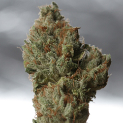 Cold Creek Kush - 3rd Indica Cup Prize 2010 Cannabis Cup